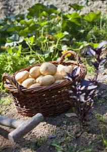 En robe des champs, frites, en purée, rissolées, vapeur... la patate c'est savoureux quelque soit son accomodement